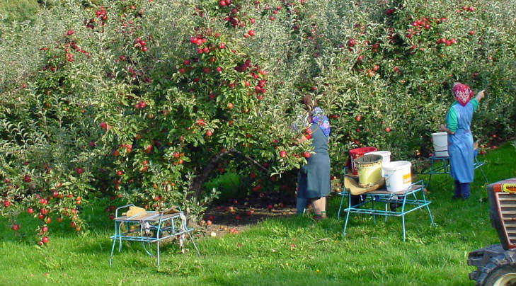 picking fruits