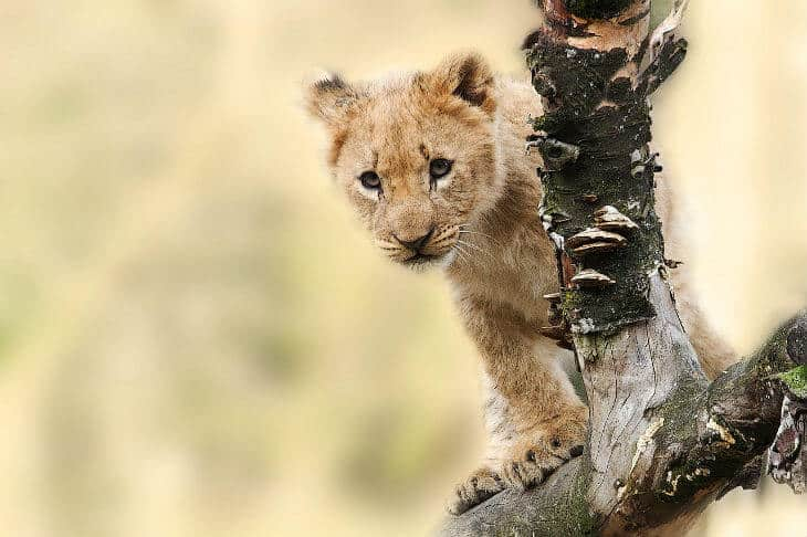 zambia lion