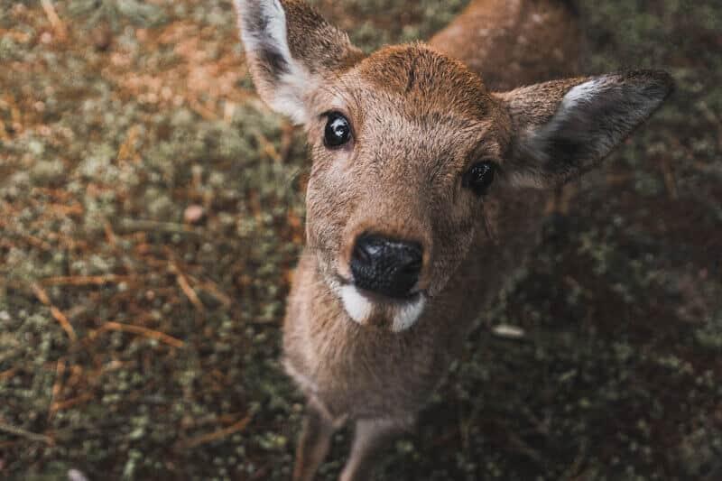 Nara-park-deer