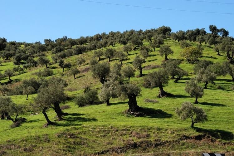 Olivträd i Spanien