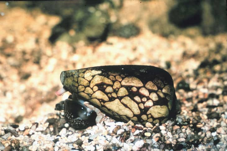 Marbled cone snail is one of the most venomous animals in the world