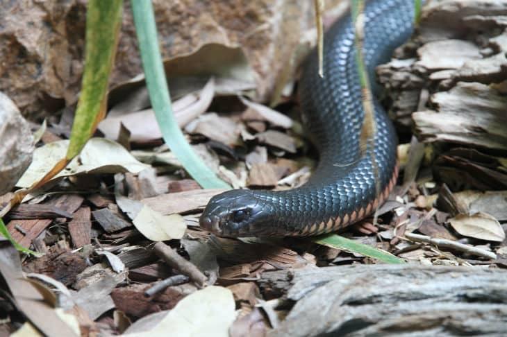 The most venomous snake