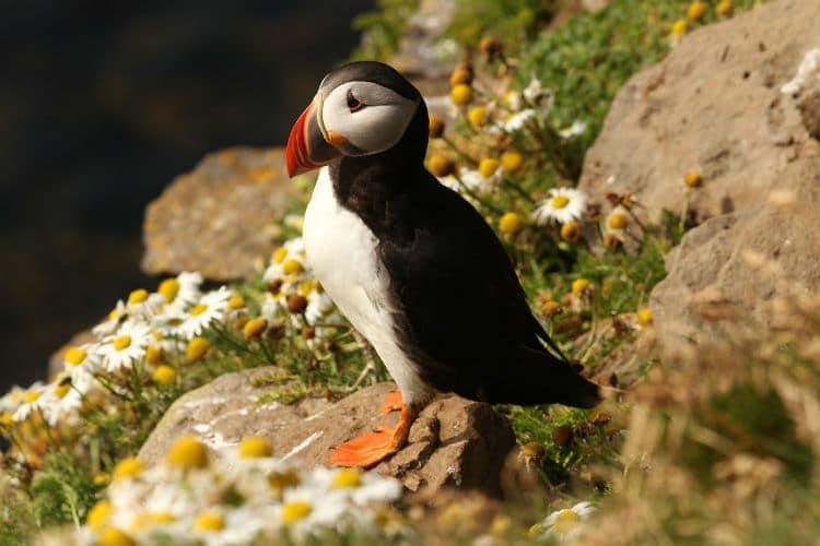 irish bird puffin