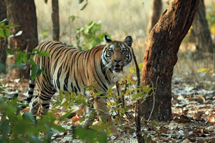 bengal tiger - national animal of india