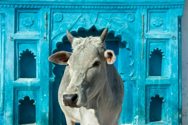 cows are holy - india facts