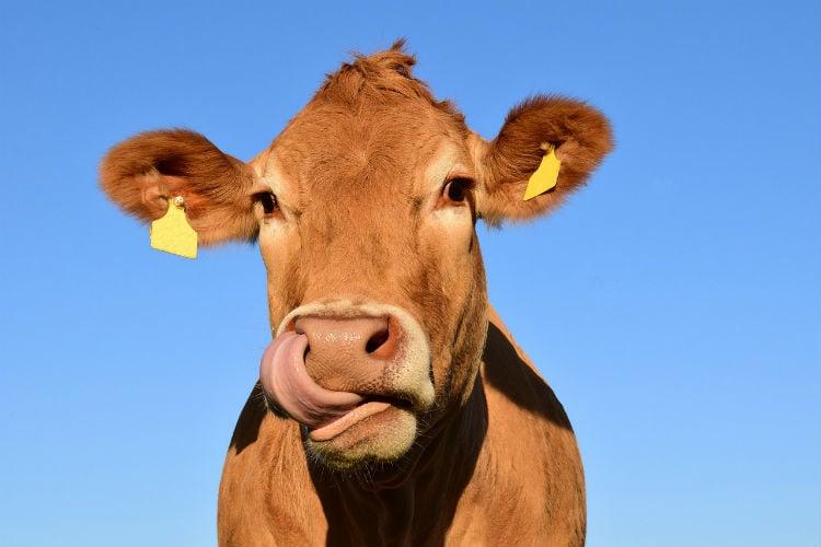 klimatpåverkan kött