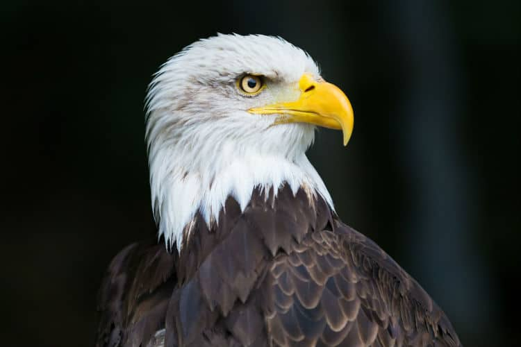 the bald eagle - national animal of usa