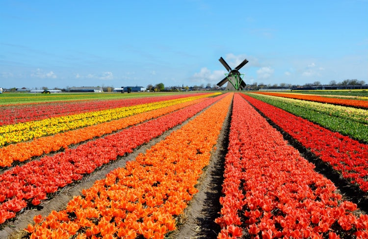 tulips - facts about the netherlands