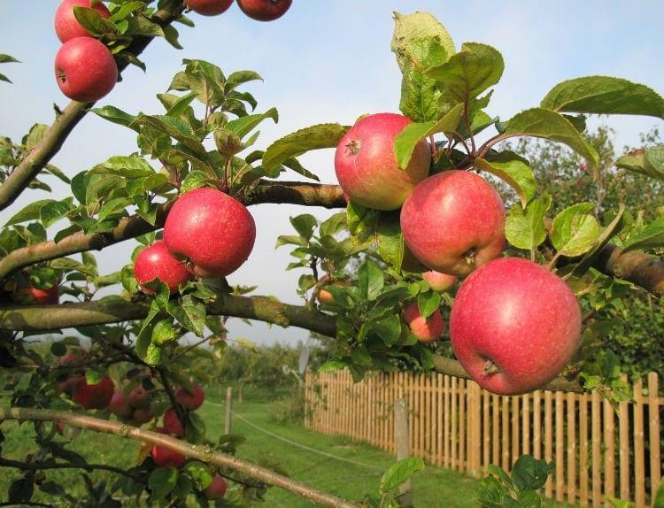 kivik äpple