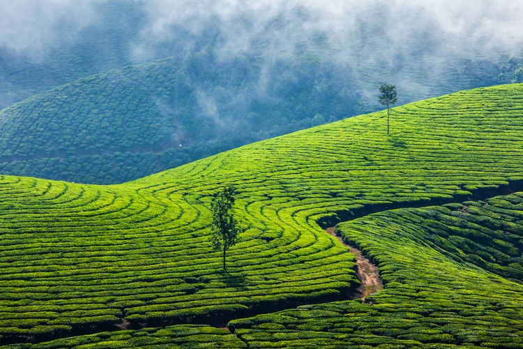 Munnar / Ghats Occidentales