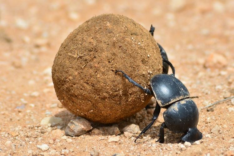 el escarabajo pelotero