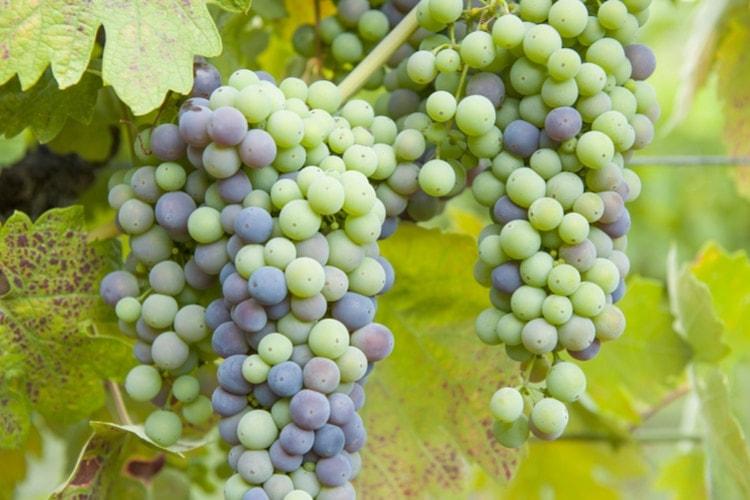 Zinfandel grape