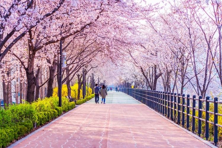 Körsbärsblomning i Sydkorea