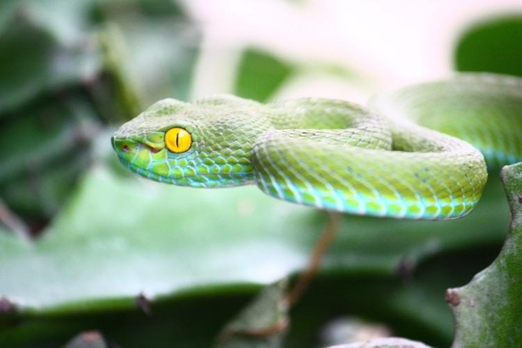 Thai snake