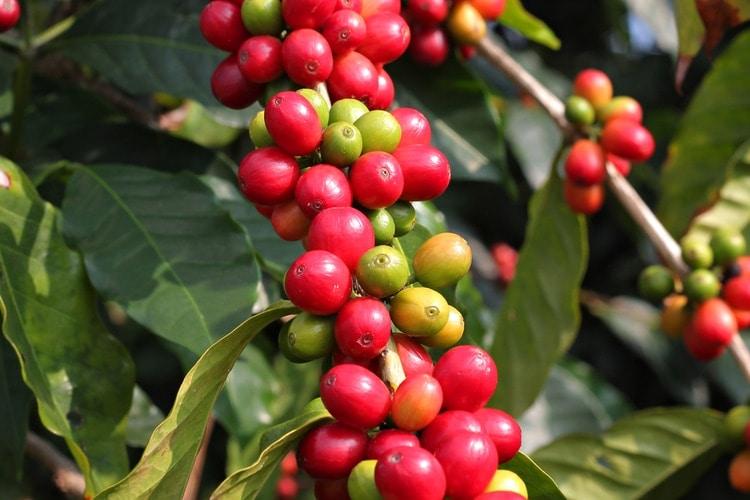 Kaffe Hawaii