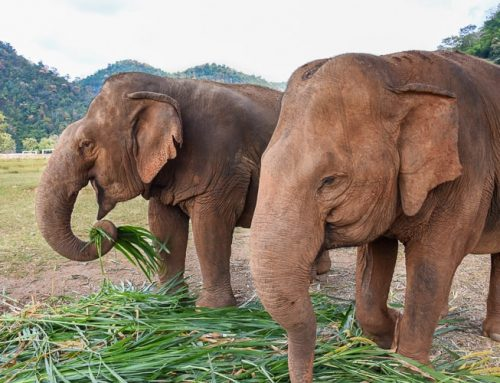 Elephant Nature Park in Chiang Mai – My Experience
