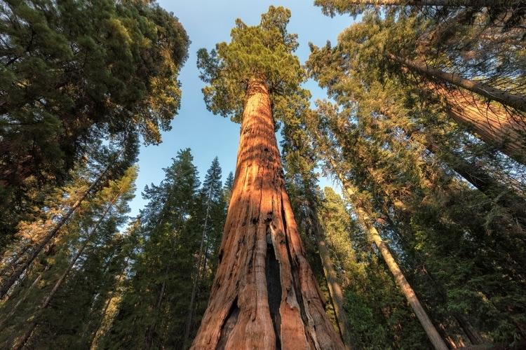 Världens högsta träd