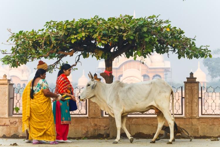 una vaca sagrada según el hinduismo
