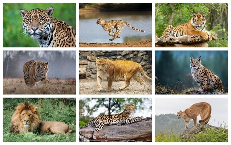 Världens största katter