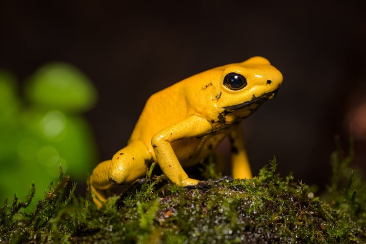 Poison Dart Frog - the most poisonous animal in the world