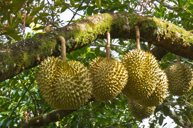 Durian fruit tree