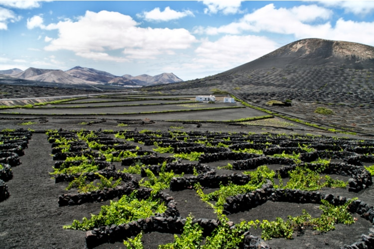 Lanzarote Vineyards