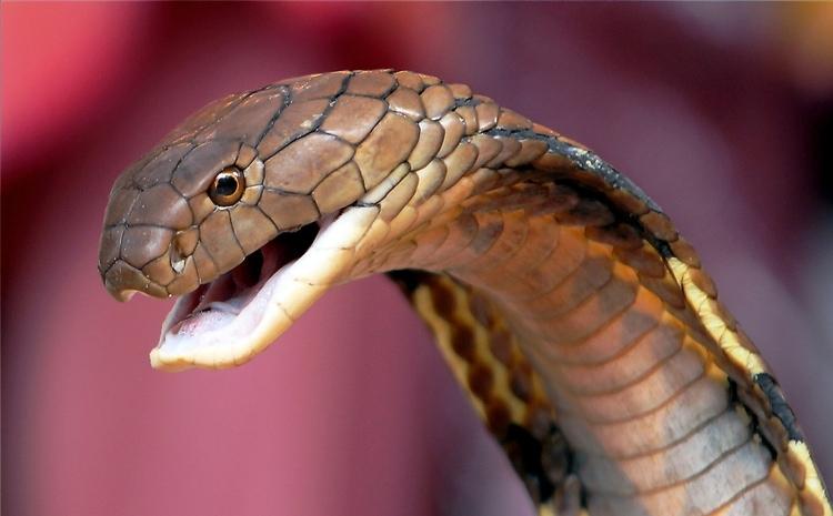 giftiga ormar i Malaysia