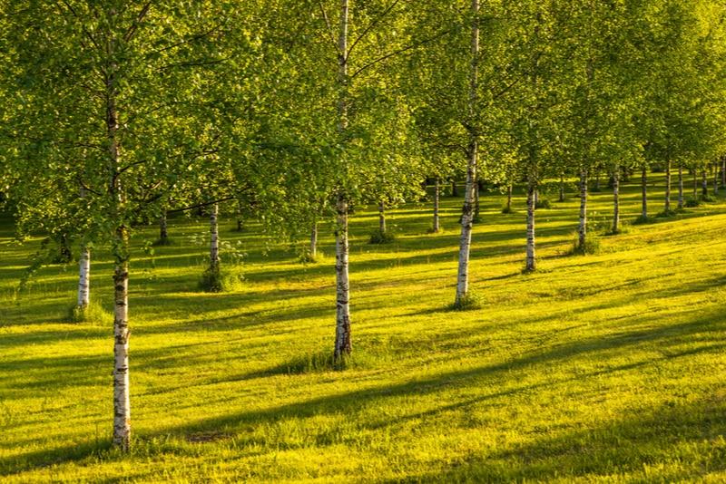 björkträd vid kyrkogården