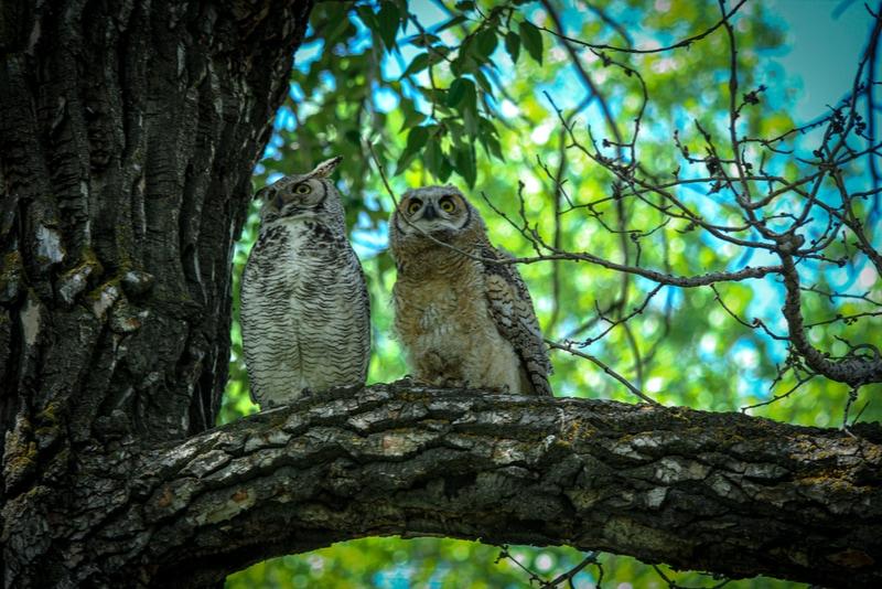 Owls in Fish Creek Provincial Park