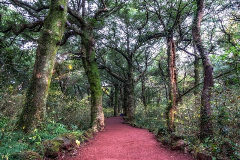 Bijarim Forest natural attraction in Jeju Island