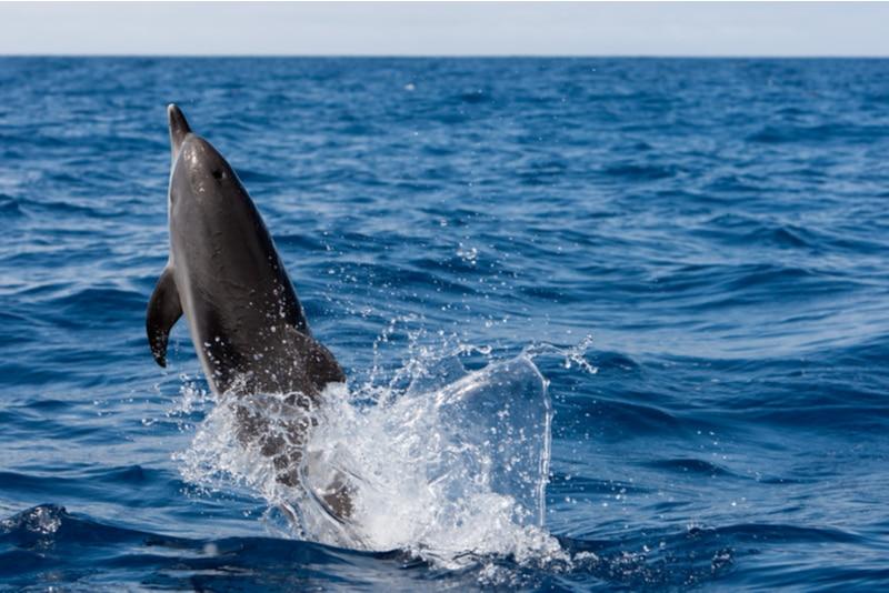 Delfinskådning på Teneriffa