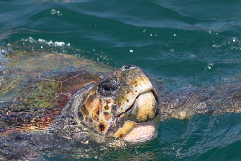 Sea Turtles in Argostoli