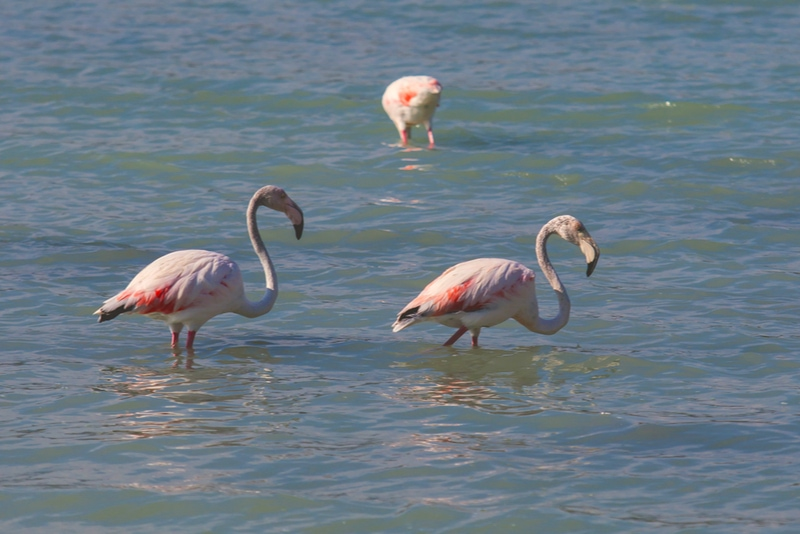 Flamingos at Las Salinas de Calpe