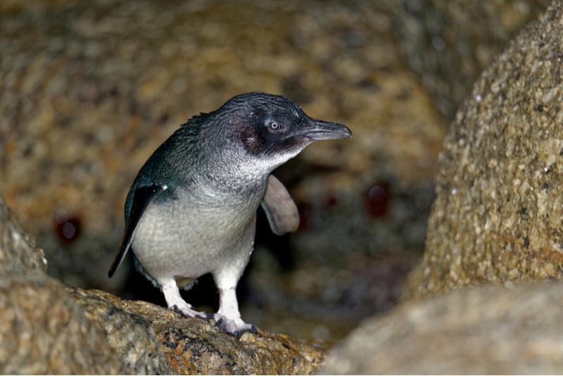 Penguin in Tasmania