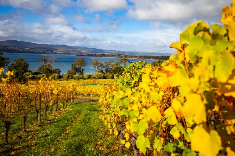 Vineyard in Tamar Valley