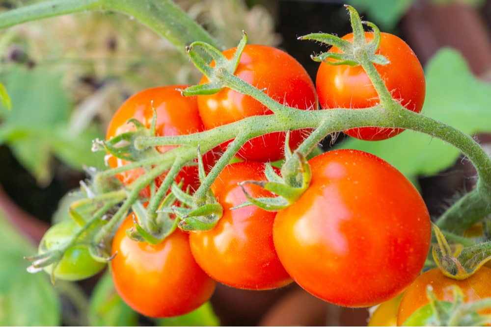 tomater till bruschetta