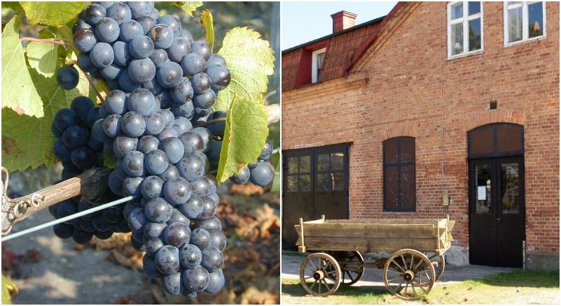 Gute vingård i Sverige