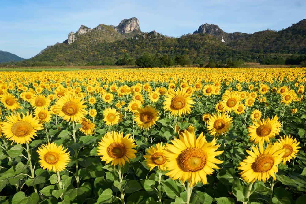 Khao Jeen Lae solrosfält