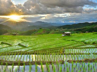 Risfält i norra Thailand på sommaren